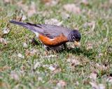 Robin Looking For Worms