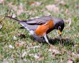 Robin Finds Worm