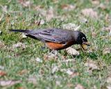 Robin Eats Worm