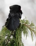 Red-Wing Black Bird Displaying