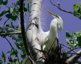 Common Egret Nesting