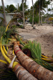 Downed palms and another damaged trailer