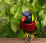 Rainbow Lorikeet 3.jpg