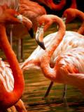 Carribean Flamingoes 12.jpg