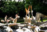 Feeding the Pelicans01.jpg