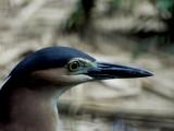 Black-Crowned Night Heron03.jpg