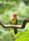 Red and Yellow Barbet03.jpg
