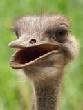 Ostrich03.jpg