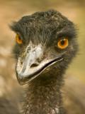 Emu 02.jpg