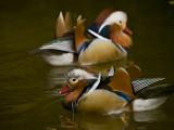 Mandarin Duck 06.jpg