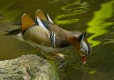 Mandarin Duck 08.jpg