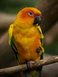 Sun concure Parrot 01.jpg