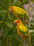 Sun concure Parrots 02.jpg