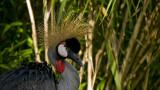 African Crowned Crane.jpg