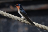 HIRUNDINIDAE: Swallows & Martins