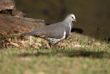 COLUMBIDAE: Pigeons & Doves