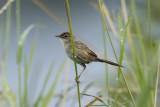 MEGALURIDAE: Grassbirds, Songlarks & Grasshopper Warblers