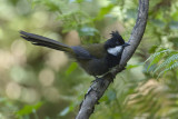 PSOPHODIDAE: Whipbirds, Quail-thrush, Wedgebills
