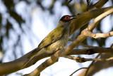 ORIOLIDAE: Figbirds & Orioles