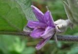 P1000206 Eggplant Blossom