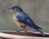 _MG_7005 Bluebird on Water Dish