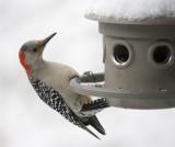 _MG_2516 Female Red Bellied Woodpecker