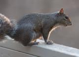 _MG_7215 Squirrel at Sundown