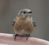 _MG_7340 Female Bluebird