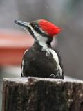 _MG_2677 Female Pileated  Woodpecker in the Rain