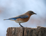 _MG_7486 Female Bluebird
