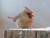 _MG_2802 Female Cardinal with 1.4X Tamron