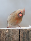 _MG_2814 Female Cardinal with 1.4x Tamron