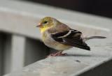 _MG_8058 Goldfinch