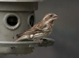 _MG_8063 Female Purple Finch