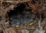 P1030912 Carolina Wren Babies