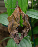 Blinded Sphynx Moths Mating