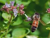 _MG_9610 Bee on Oregano.jpg