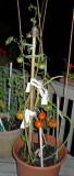 Pathetic Tomato Plant