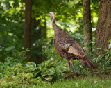 _MG_2972 Wild Turkey