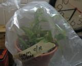 Lemon Verbena Cuttings