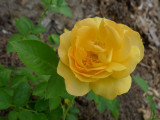 P1050993 Julia Child Rose Blossom