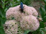 P1060003 Mud Dauber Wasp