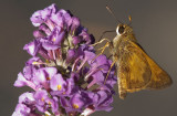 IMG_0158 Didn't intend to buy this butterfly bush....