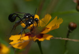 IMG_0236 Eremnophila aureonotata