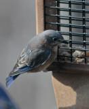 _MG_3753 Female Bluebird