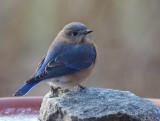 _MG_3755 Bluebird on Rock in Birdbath