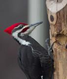 _MG_3767 Male Pileated Woodpecker