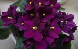 P1090352 African Violet