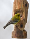 _MG_3840 Pine Warbler