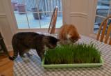 P1090684 Wheat Grass Heaven